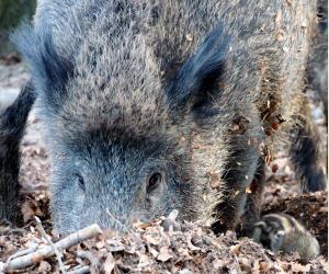 Wildschweine Agrar Aktuell De