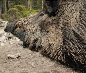 Afrikanische Schweinepest Tier Agrar Aktuell De
